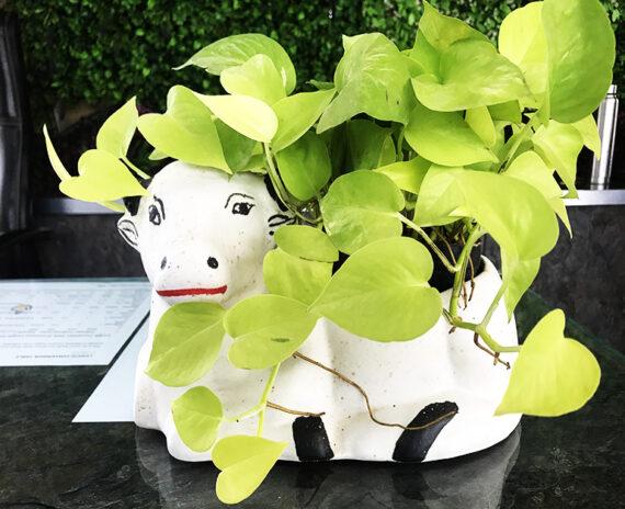 Beautiful-ceramic-cow-planter